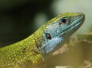 Jaszczurka zielona, fot. Kacper Kowalczyk