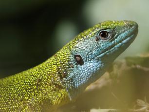 Jaszczurka zielona ‒ gratka dla miłośników zwierząt