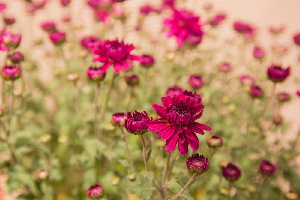 Astry kwiaty – sadzenie, uprawa i pielęgnacja astrów