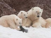 Niedźwiadki polarne bawią się plastikową torbą