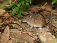 Mysz polna (myszarka polna) - opis, występowanie i zdjęcia. Zwierzę mysz polna ciekawostki