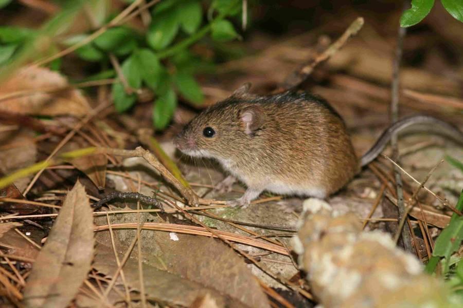 Mysz polna ‒ szkodnik czy pożądany sąsiad?