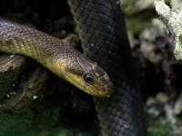 Wąż Eskulapa ‒ opis, występowanie i zdjęcia. Gad wąż Eskulapa ciekawostki