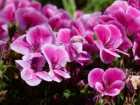 Pelargonie – najpopularniejsze rośliny balkonowe na świecie