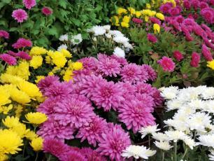 Chryzantemy – kolorowe kwiaty nie tylko na cmentarz