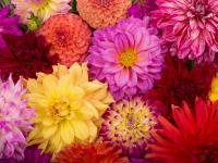 Dalie kwiaty – sadzenie, uprawa i pielęgnacja dalii