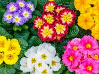Pierwiosnek: romantyczny pan wiosny… i lata