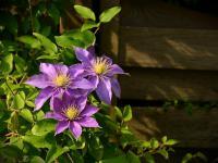 Powojniki – kwitnące pnącza na mury, płoty, pergole i rabaty