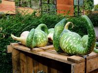 Tykwa warzywo - właściwości, witaminy i wartości odżywcze tykwy