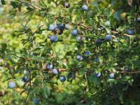 Tarnina owoc - właściwości, witaminy i wartości odżywcze tarniny