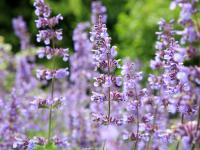 Kocimiętka kwiaty – sadzenie, uprawa i pielęgnacja kocimiętki