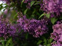 Lilaki – ulubione krzewy Polaków