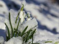W ogrodach pojawiły się zwiastuny nadchodzącej wiosny!