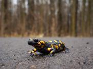 Salamandra plamista - opis, występowanie