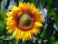 Słonecznik – największy kwiat w ogrodzie
