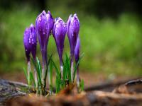 Krokusy – zdobią rabaty nie tylko wiosną