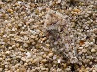 Płastuga ‒ mistrz morskiego kamuflażu