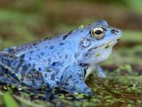 Żaba moczarowa – opis, występowanie i zdjęcia. Płaz żaba moczarowa ciekawostki