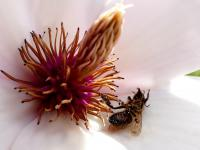 Glifosat zabija pszczoły!