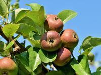 Szczepienie drzew owocowych – wszystko, co musisz wiedzieć