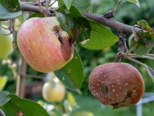 Jakie choroby dokuczają drzewom owocowym?