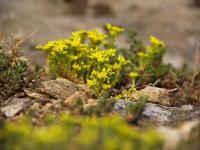 Rośliny na skalniak. Kwitnące, płożące, iglaste - jakie rośliny wybrać?