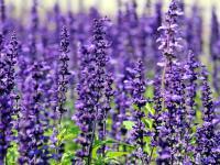 Rośliny światłolubne w ogrodzie - gatunki, rodzaje i pielęgnacja roślin światłolubnych