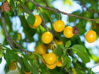 Mirabelki owoce – właściwości, witaminy i wartości odżywcze mirabelek