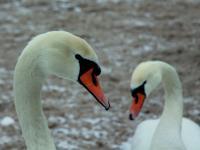 Łabędź niemy - opis, występowanie i zdjęcia. Ptak łabędź niemy ciekawostki