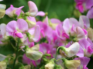 Wybieramy najpiękniej pachnące kwiaty do ogrodu