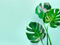 Monstera dziurawa roślina – sadzenie, uprawa i pielęgnacja monstery dziurawej
