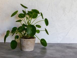 Pieniążek roślina – sadzenie, uprawa i pielęgnacja pieniążka