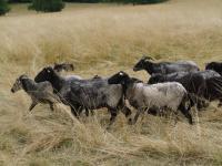 """""""Żywe kosiarki"""" pomagały w ochronie cennych łąk"""