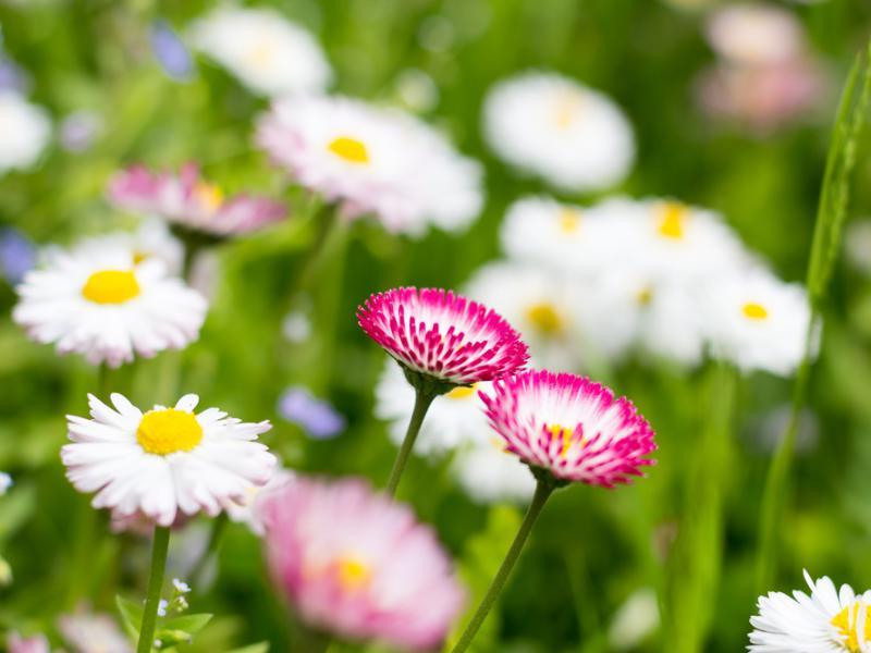 Stokrotki kwiaty – sadzenie, uprawa i pielęgnacja stokrotek ...
