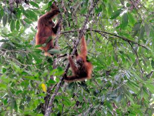Oreo przyczyniają się do zagłady orangutanów
