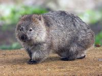 Zagadka sześciennych kup wombata rozwiązana!