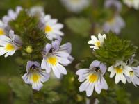 Świetlik łąkowy – naturalny lek na problemy z oczami