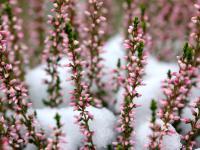 Kwiaty zimowe w ogrodzie – rodzaje i gatunki kwiatów zimowych