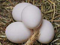 Jajko kurze – właściwości, skład i zastosowanie jajka kurzego