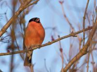 Gil – opis, występowanie i zdjęcia. Ptak gil ciekawostki