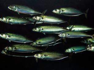 Unijni politycy zadecydują o poziomie połowów ryb w Europie północno-zachodniej w 2019 roku. Czy wezmą pod uwagę głos nauki?