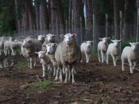 Ser owczy – właściwości, skład i zastosowanie sera owczego