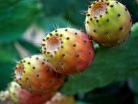 Opuncja figowa owoc – właściwości, witaminy i wartości odżywcze opuncji figowej