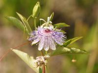 Męczennica (Passiflora) – właściwości, działanie i zastosowanie męczennicy