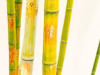 Bambus – właściwości, wartości odżywcze i zastosowanie bambusa