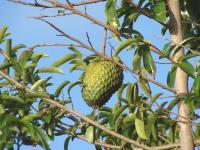 Graviola owoc – właściwości, witaminy i wartości odżywcze gravioli