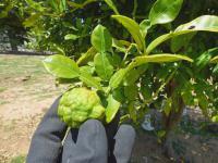 Liście kaffiru przyprawa – właściwości, działanie, zastosowanie liści kaffiru