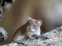 Mysz domowa - opis, występowanie i zdjęcia. Zwierzę mysz domowa ciekawostki