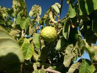 Czerymoja owoc - właściwości, witaminy i wartości odżywcze czerymoi