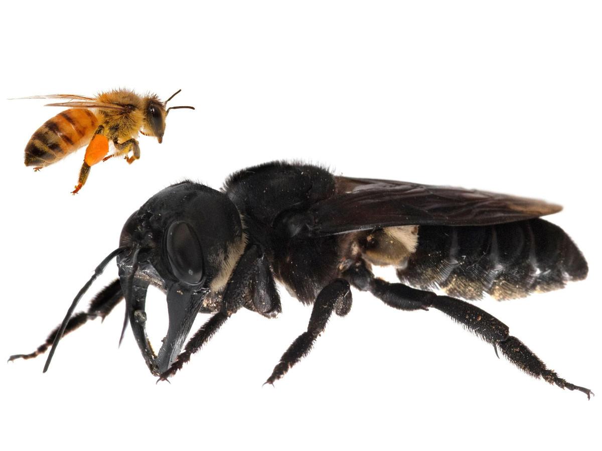 Największa pszczoła na świecie znaleziona w Indonezji